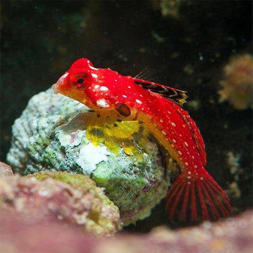 Synchiropus moyeri